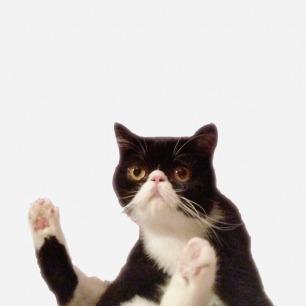 异国短毛猫