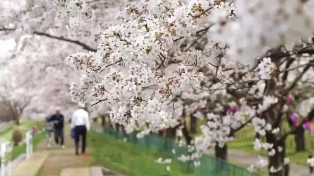 当樱花季遇上清明假期,2018最佳日本赏樱路线/当樱花季遇上清明假期,2018最