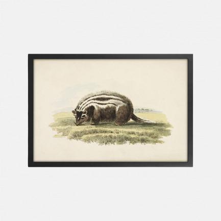 英国自然装饰画 条纹臭鼬  | 英国C.J. whichelo设计版画