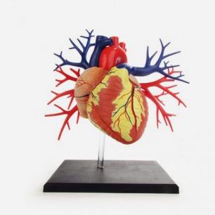 Evolution心脏静脉动脉立体拼装模型