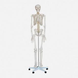 骨架 模型