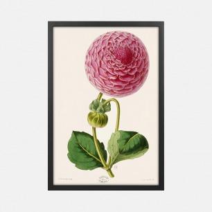 自然装饰画 大丽花布什夫人 | Moore & Dombrain作品