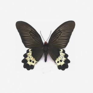 蝴蝶标本:卢氏曙凤蝶