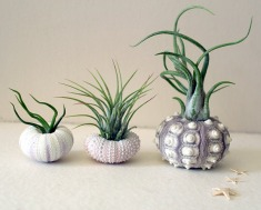 mixed trio // air plant urchins // by by peacocktaco on Etsy