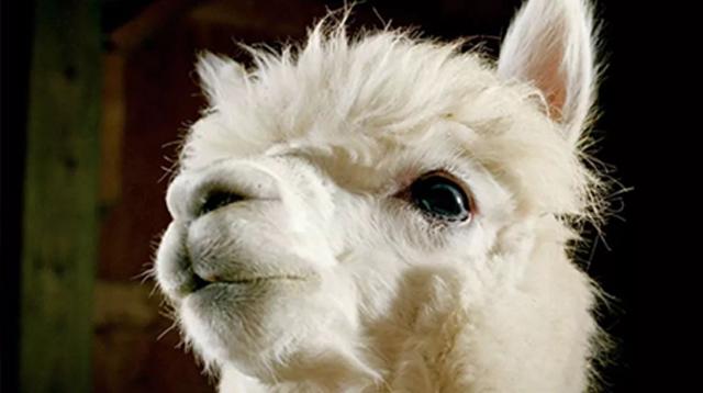 在秘鲁山区,呆萌羊驼与印加手工碰撞出的时髦火花/在秘鲁山区,呆萌羊驼与印加手工碰